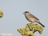 Zwartkop Vogelreis Portugal