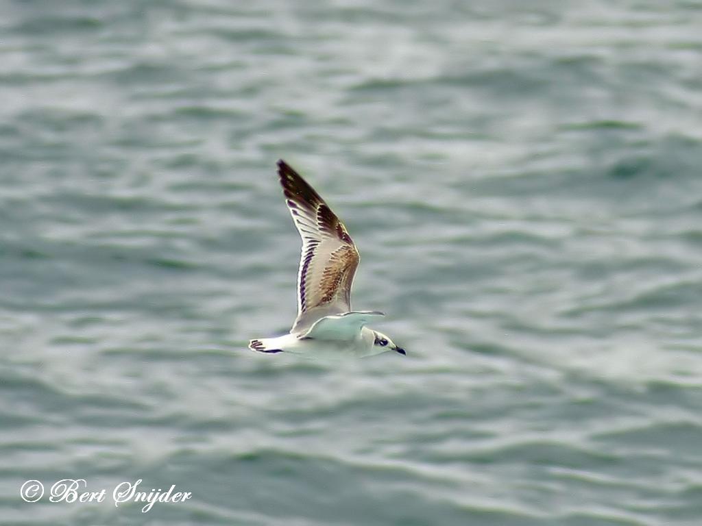 Zwartkopmeeuw Vogelvakantie Portugal